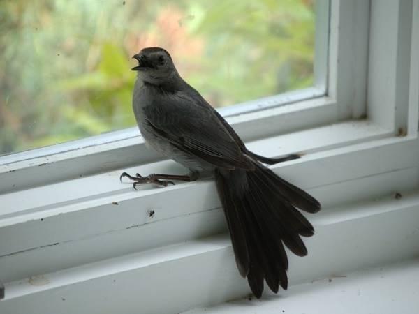 Chim bay vào nhà có điềm gì không?