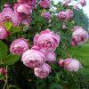 Mơ thấy hoa hồng là điềm báo lành hay dữ?